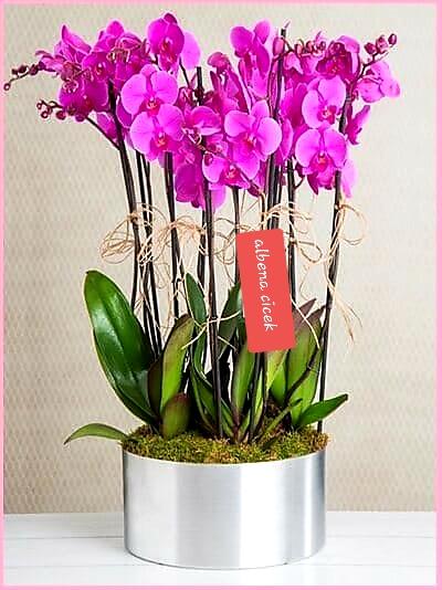 8dal mor orkide arajmaný