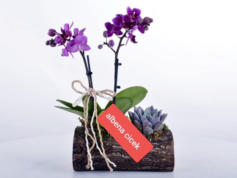 Dogadan gelen güzellik dogal kütükte mini orkide sukulent arajmaný