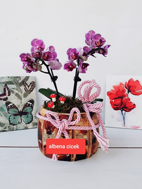 Dekoratif ahþap saksýda 2li mini mor orkide ççegi