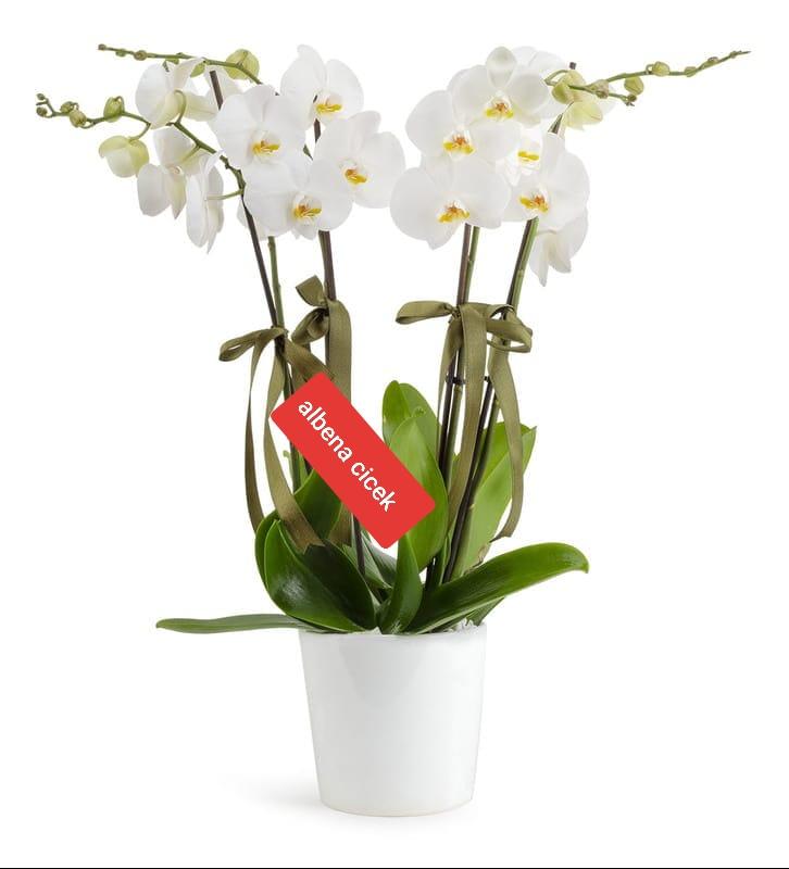 Beyaz kugu 4dal orkide çiçegi