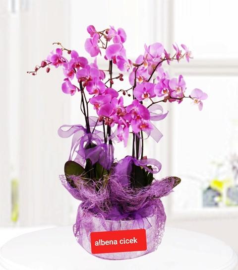 6 Dallý mor orkide çiçegi
