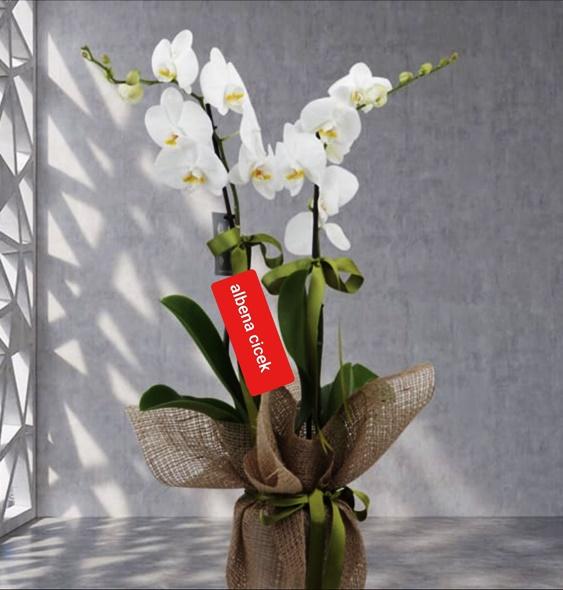 Abakaya sarýlý 2dal beyaz orkide çiçegi