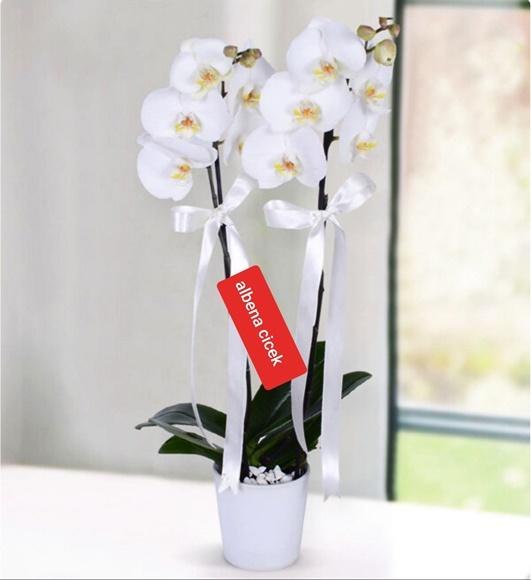 Beyaz kugu 2dal beyaz orkide çiçegi
