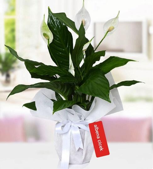 Spatifilyum beyaz güzellik saksý çiçegi