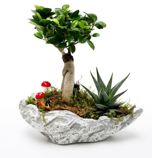 dekoratif taþ saksýda ficus bonsai