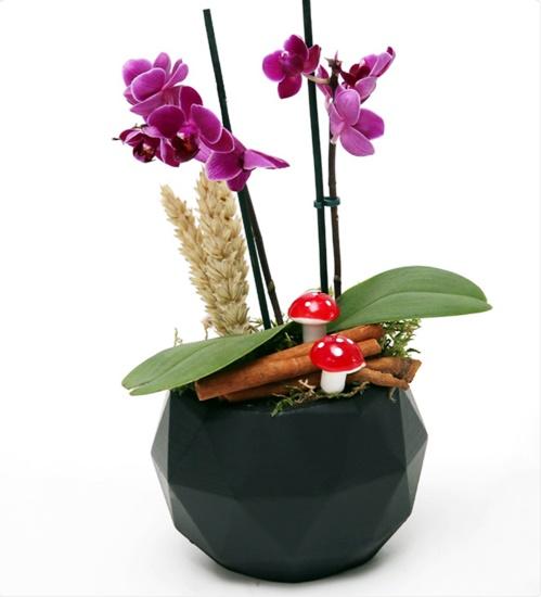 siyah beton saksýda 2li mini orkide