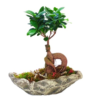 taþ saksýda bonsai