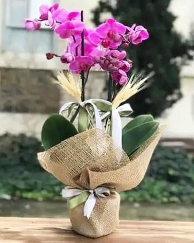 2 dallý mor orkide çiçegi