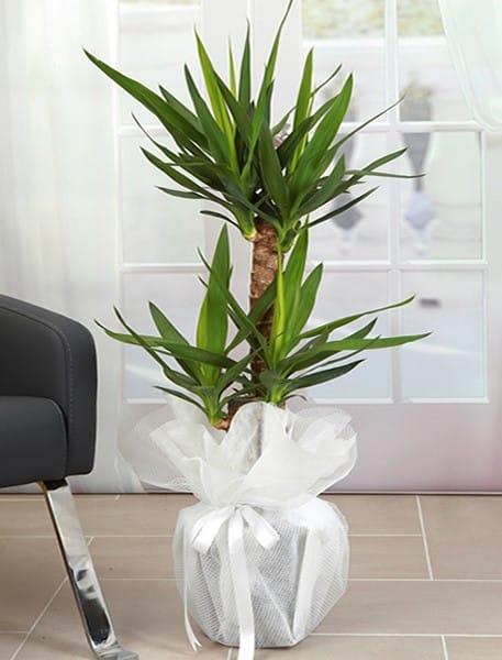 2li yucca saksý çiçegi