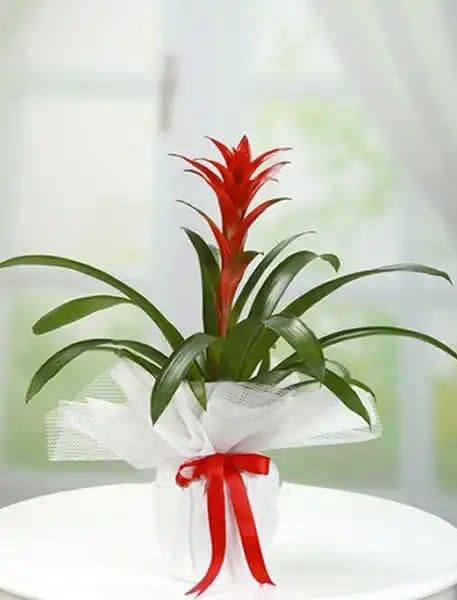 Guzmanya saksý çiçegi