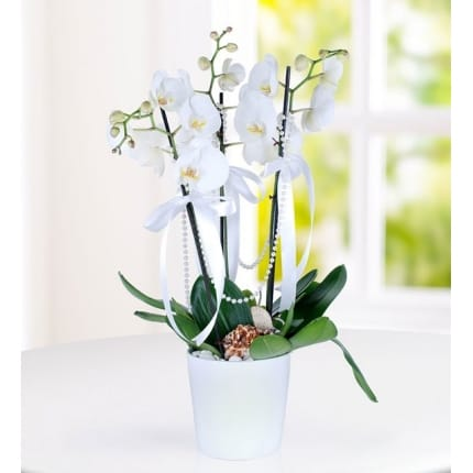 Beyazkugu 3dal orkide çiçegi