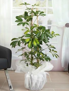 2li Schefflera çiçegi
