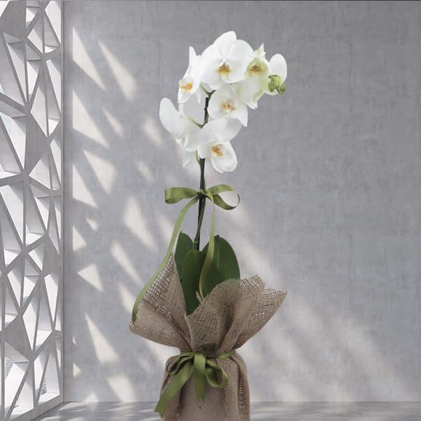Abakaya sarýlý 1dal orkide çiçegi