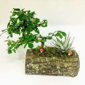 Dogal kütükte Bonsai sukulent