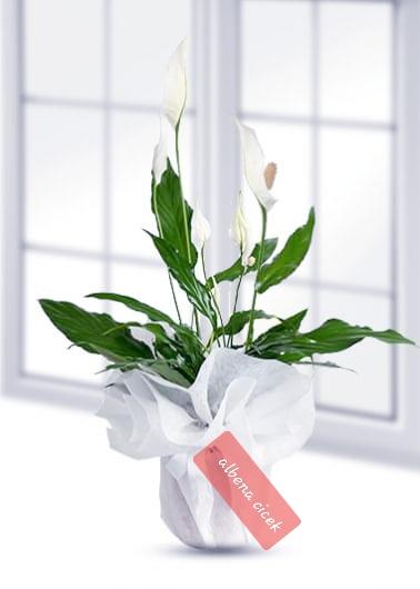 Spatifilyum beyaz güzellik