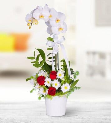 Birtek sen beyaz orkide arajmani