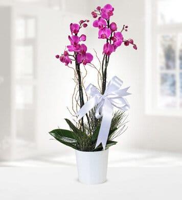 Asaletli 2dal mor orkide çiçegi