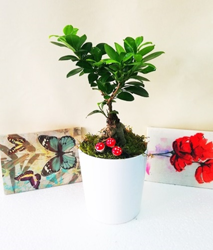 seramik saksýda ficus bonsai agacý
