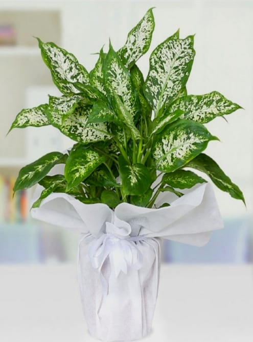 camelya saksý çiçegi
