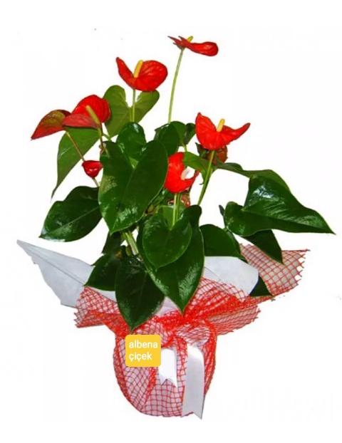 Kýrmýzý Antoryum saksý çiçegi