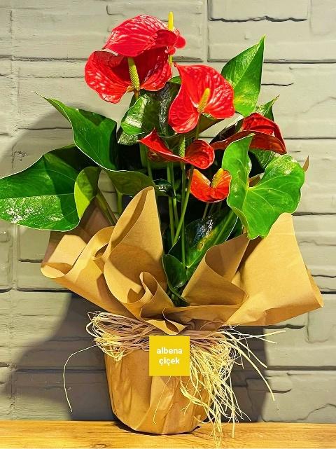 Antoryum saksý çiçegi