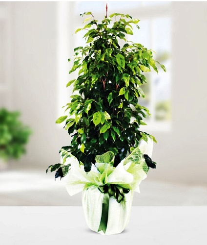 Ficus yeþil benjamin saksý çiçegi