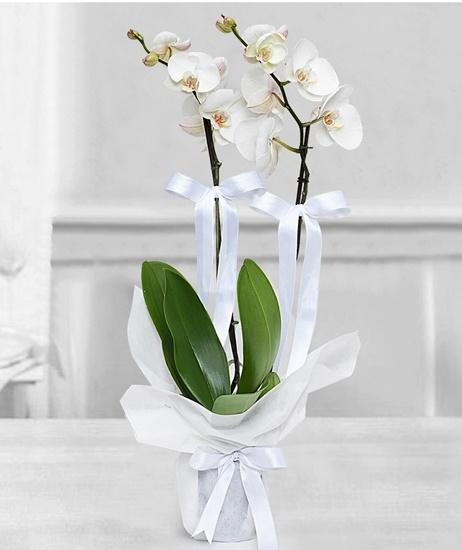 beyaz 2 dallý orkide