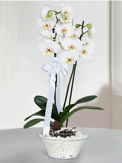 konik camda 2li beyaz orkide çiçegi