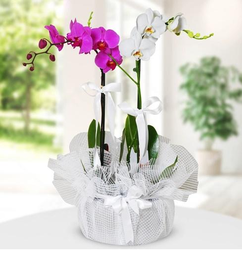 asaletli mor ve beyaz orkide çiçegi