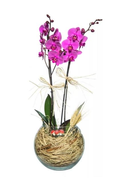 fanus camda 2 li mor orkide çiçegi