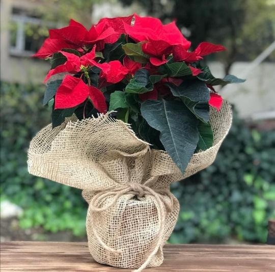 Kýrmýzý ponsetya saksý çiçegi