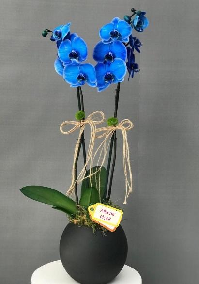 Akvaryum siyah cam vazoda ikili mavi orkide